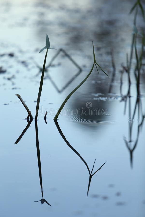 Close-up of evening grass in the water with reflection, water texture. Background snapshot of water surface in the evening royalty free stock photos