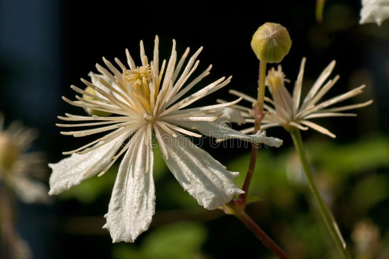 Close up of Evergreen Clematis, Clematis vitalba flower. Also known as Old Man`s Beard or Traveler`s Joy stock photos