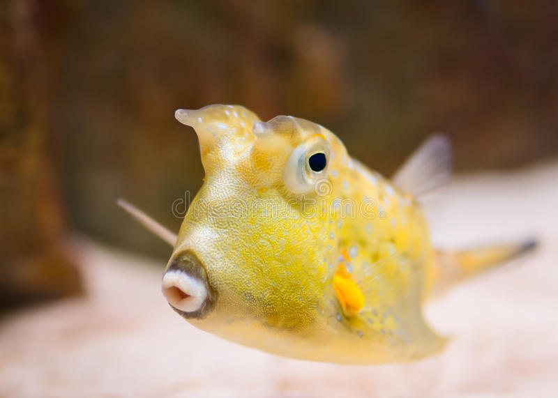 Cowfish de Longhorn imagem de stock royalty free