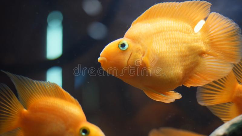 Close-up of exotic Goldfishes floating in tropical aquarium tank in a fresh water with green plants. Frame. Amazing stock image