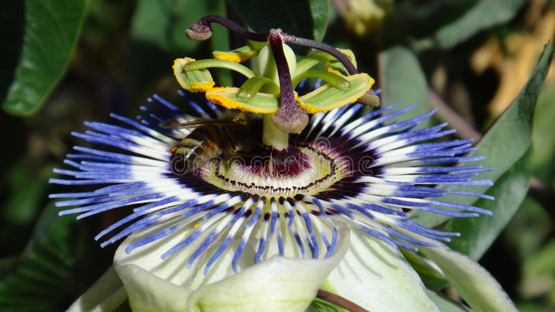 Close up of exotic-looking flower-Passiflora Caerulea with bee o. Photo was taken in june 2015 in Ortakent,Bodrum peninsula,Mugla province,Aegean region of stock photo