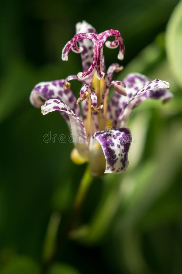 Close up of exotic purple toad lily flower stock images