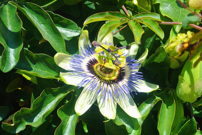 Close up of exotic tropical Passion Flower, Passiflora flower,. Growing amongst dark foliage on sunny summer day royalty free stock photography