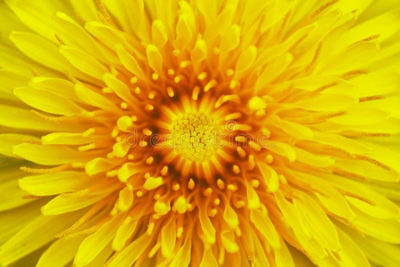 Download Flor do dente-de-leão foto de stock. Imagem de floral - 29826034