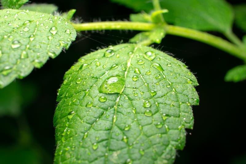 Close-up extremo da folha verde do erva-cidreira com gotas da água no fundo escuro fotografia de stock