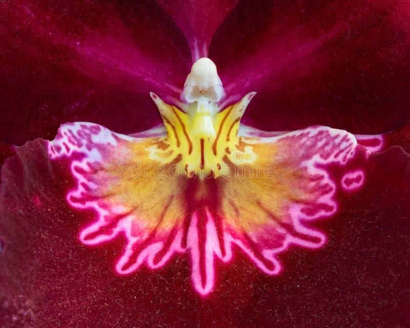 Close up extremo da orquídea vermelha e amarela foto de stock