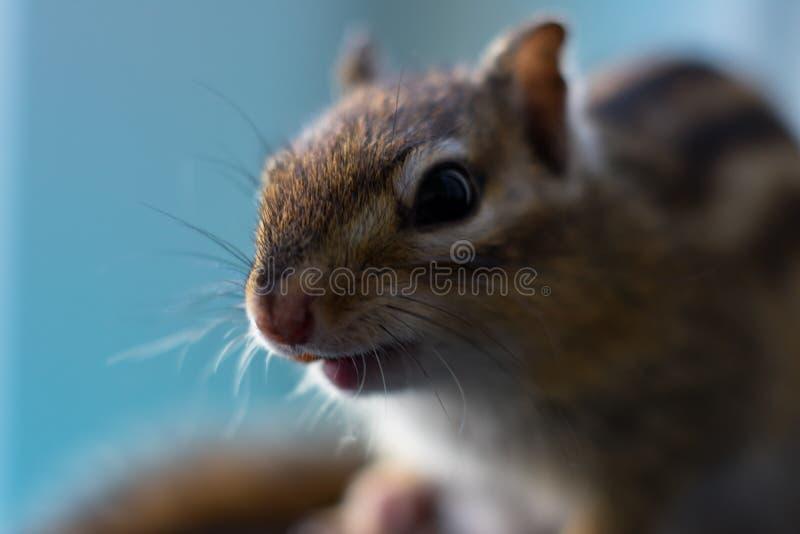 Close up extremo de esquilo confuso no fundo azul imagens de stock royalty free