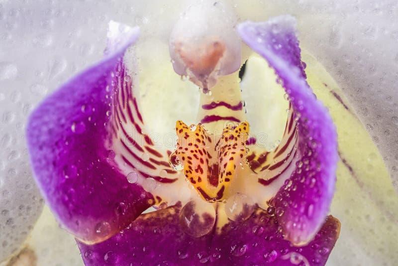 Close up extremo de uma orquídea imagem de stock