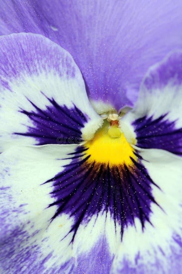 Close up extremo em uma flor do Pansy imagem de stock