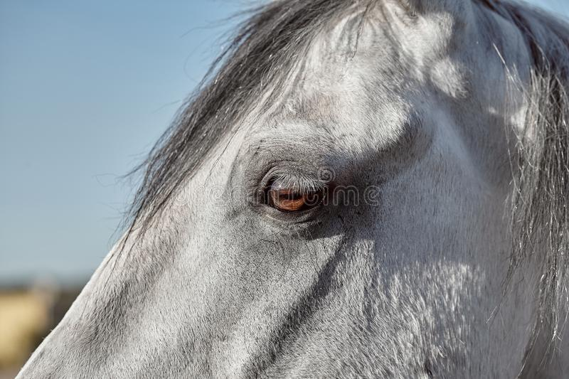 A close up of the eye of a horse. Pet royalty free stock photos