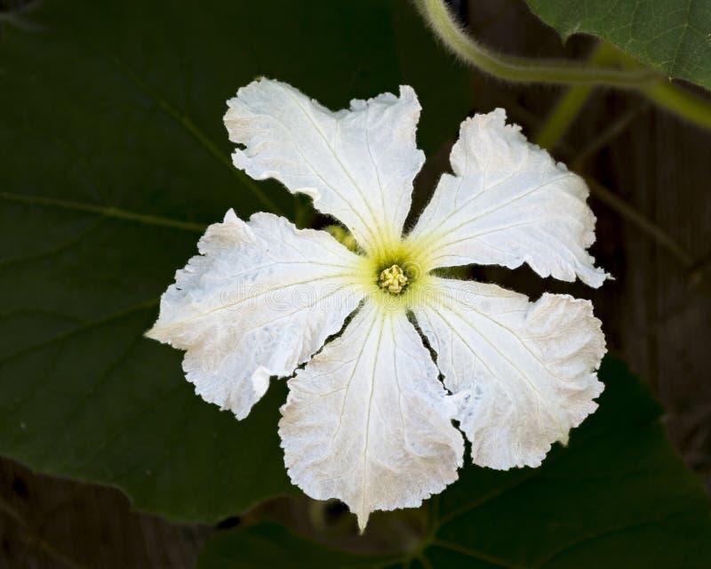 Close up fêmea branco da flor da cabaça de garrafa imagens de stock royalty free