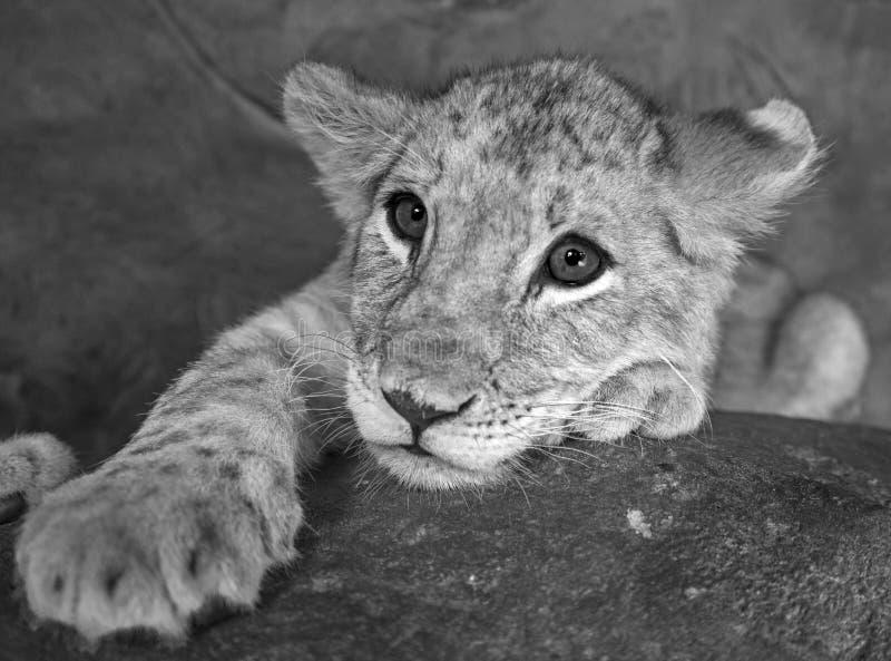 Close up fêmea do leão do bebê do bebê de quatro meses de sua cara preto e branco fotos de stock