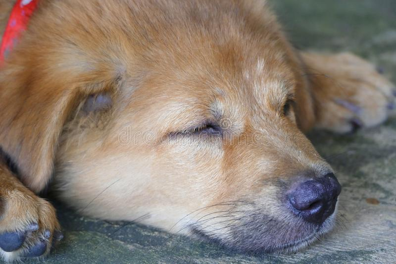 Close-Up Face Adorable Little Brown Puppy Dog Sleeping. Close-Up Face Cute Adorable Little Brown Puppy Dog Sleeping royalty free stock photo