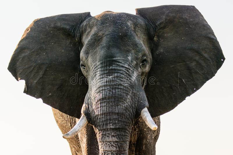 Close up of the face of an African elephant stock image