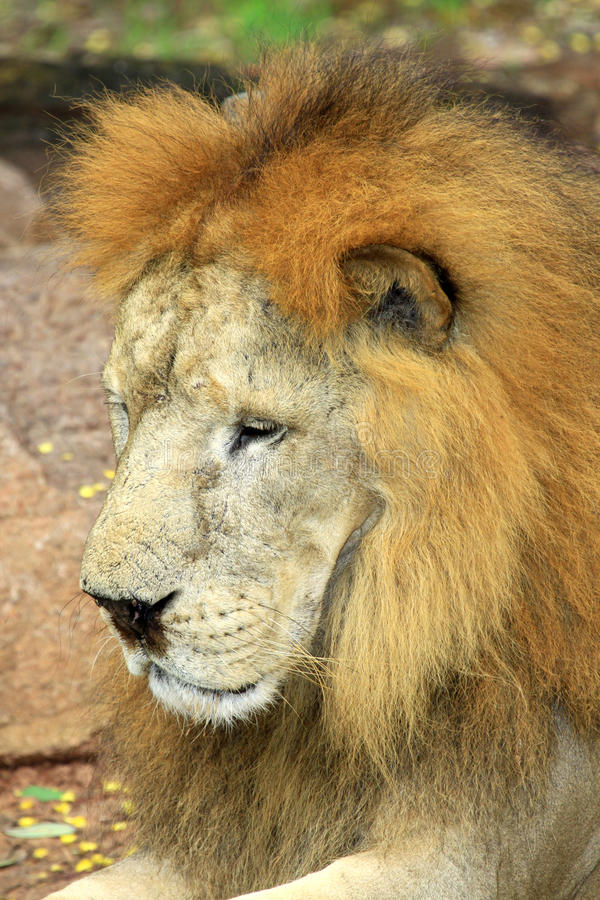 Close up face of African lion stock photo