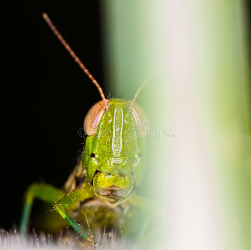 Close-up face agreen grasshopper on green leaf royalty free stock photos