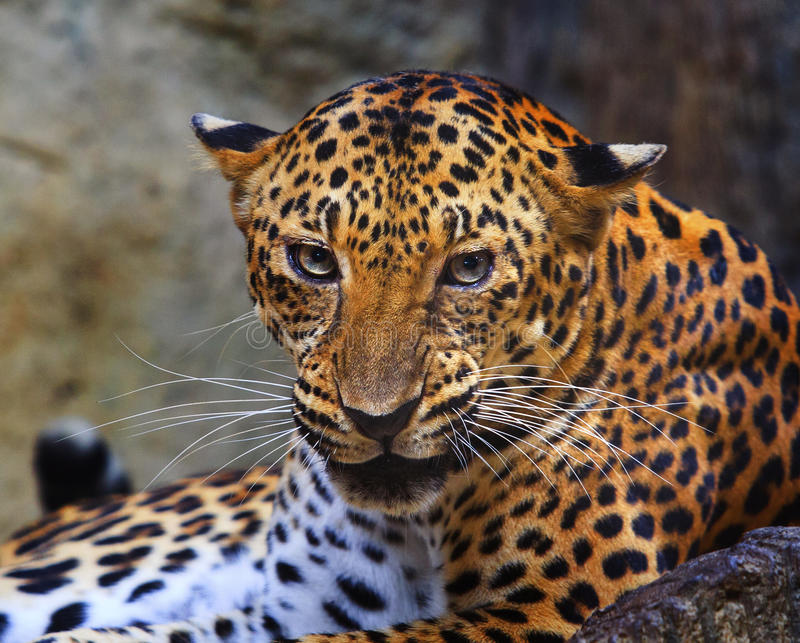 Close up face of angry leopard royalty free stock images