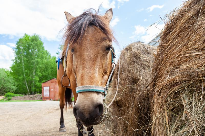 Close up face of A arabian horse with a saddle on his back bowed his head and eats hay from a dry stack stock photos