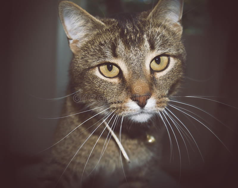 Close-up of the face of a beautiful domestic cat. Long whiskers stock photos