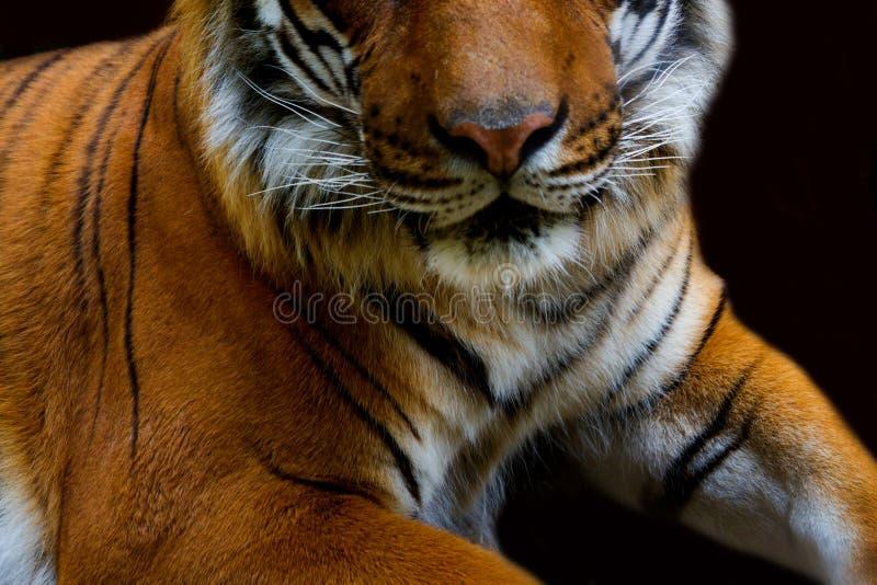 Bengal tiger close up royalty free stock image