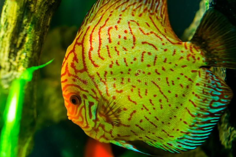 Close up of the face of a blue discus fish, popular tropical aquarium pet in aquaculture, tropical fish specie from the amazon. A Close up of the face of a blue stock photography