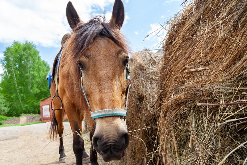 Close up face of A arabian horse with a saddle on his back bowed his head and eats hay from a dry stack royalty free stock photo