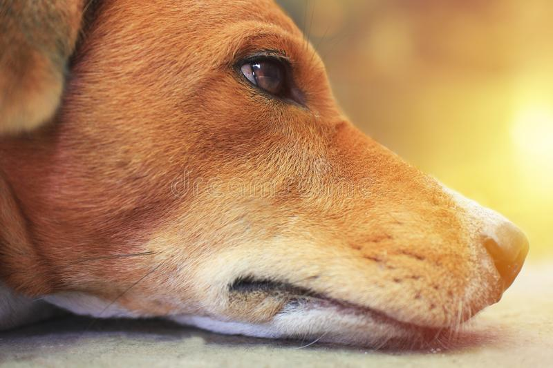 Close up face of a brown dog. royalty free stock photo