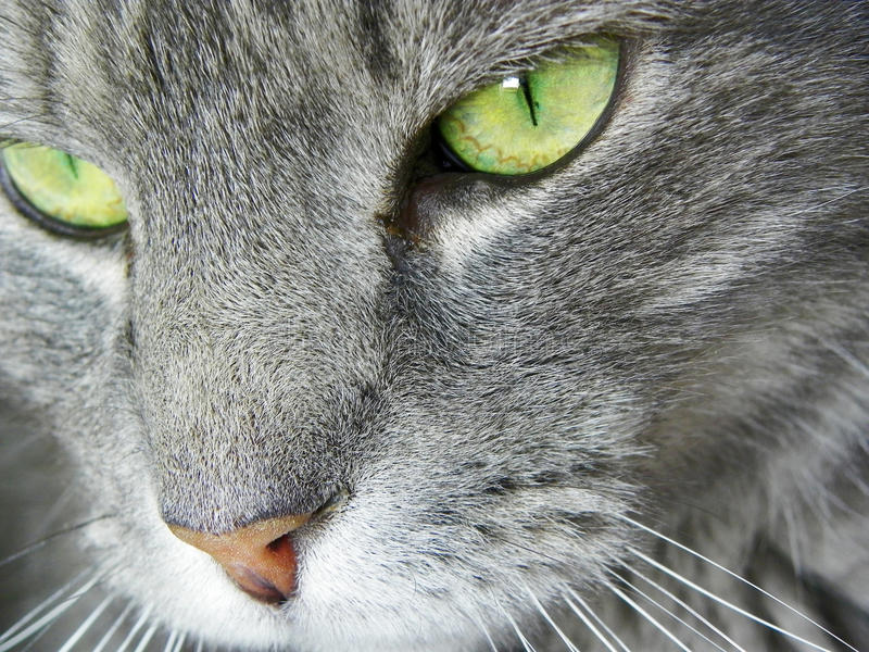 Close up face of cat with green eyes macro royalty free stock images