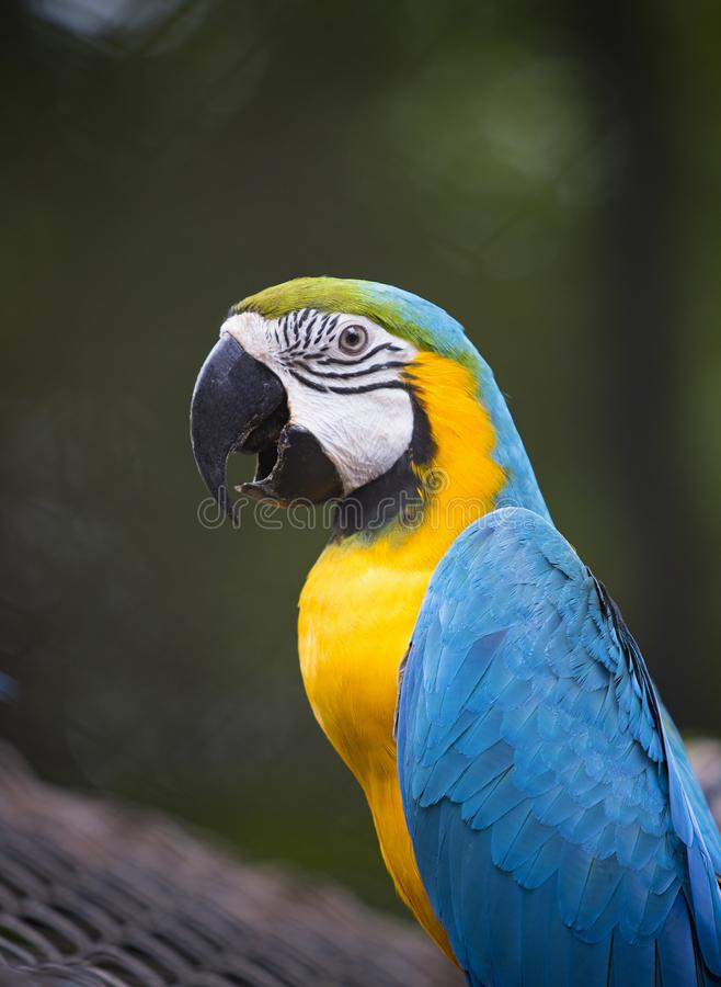 close up face of colorful blue gold macaw bird on green blur background stock photos
