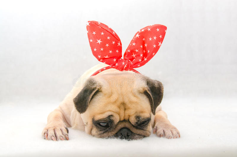 Close-up face of cute dog puppy pug with bunny rabbit ear sleep rest on cotton wool in white background. royalty free stock photos