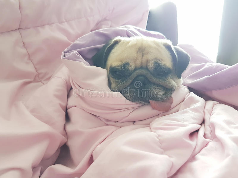 Close up face of cute dog puppy pug sleep rest on sofa bed with stock image