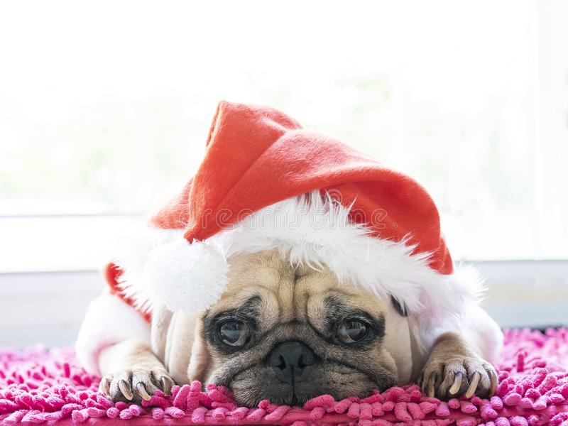 Close-up face of a cute lying pug puppy dog in Christmas hat. Pug wearing xmas costume sleeping rest in holiday lazy time royalty free stock photos