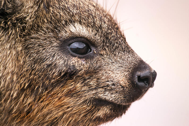 Close up of a dassie, South Africa royalty free stock photos
