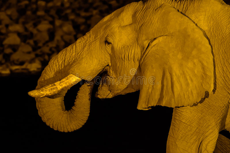 Close up of the face of an elephant at night. Close up of the head of an elephant at night royalty free stock photography