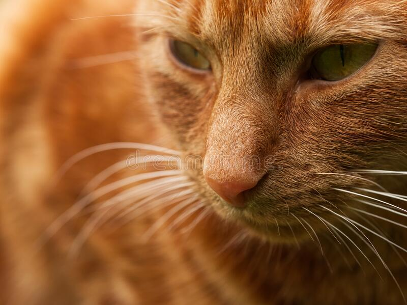 Close up face of ginger female cat stock photos