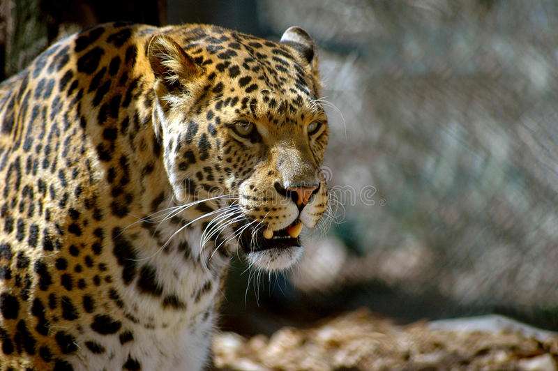 Close-up of face, head and shoulders of beautiful spotted leopard. Portrait of a beautiful leopard looking off into the distance royalty free stock photo