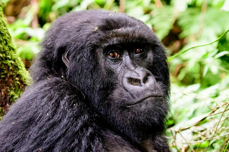Close up of the face of a juvenile mountain gorilla. Facial expression and features of a female mountain gorilla watching closely royalty free stock photography