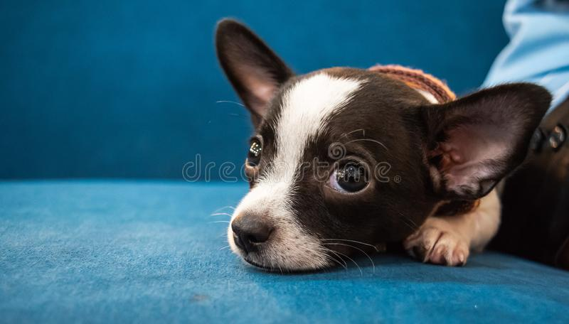 Close up face of little dog, Chihuahua, lay down with his owner,look cutes and lovely. Close up face of little dog lay down with his owner,look cutes and lovely stock photo