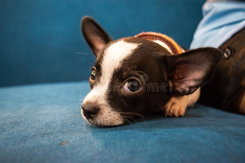 Close up face of little dog, Chihuahua, lay down with his owner,look cutes and lovely. Close up face of little dog lay down with his owner,look cutes and lovely stock photos