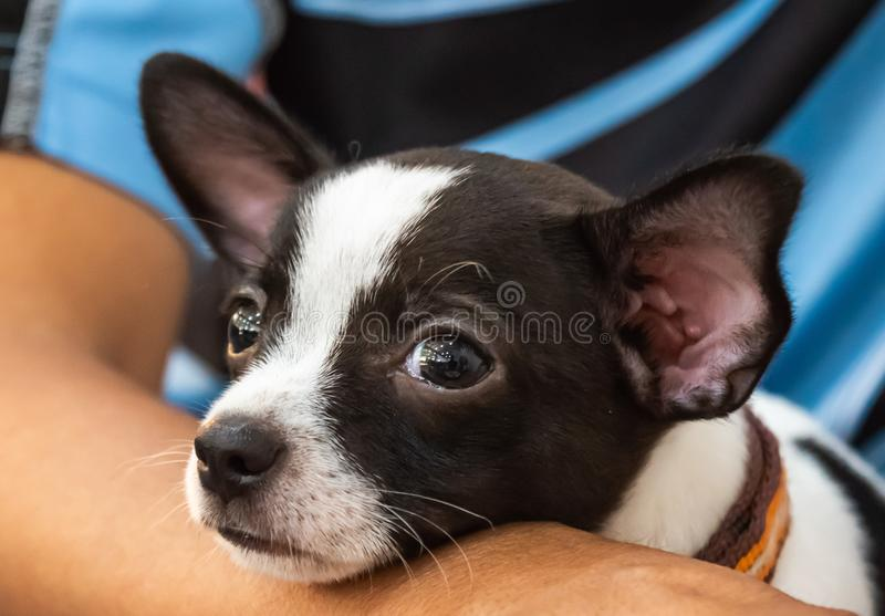 Close up little dog ,Chihuahua portrait, lay down beside his owner,look cutes and lovely. Close up little dog lay down beside  owner,look cutes and lovely stock photo