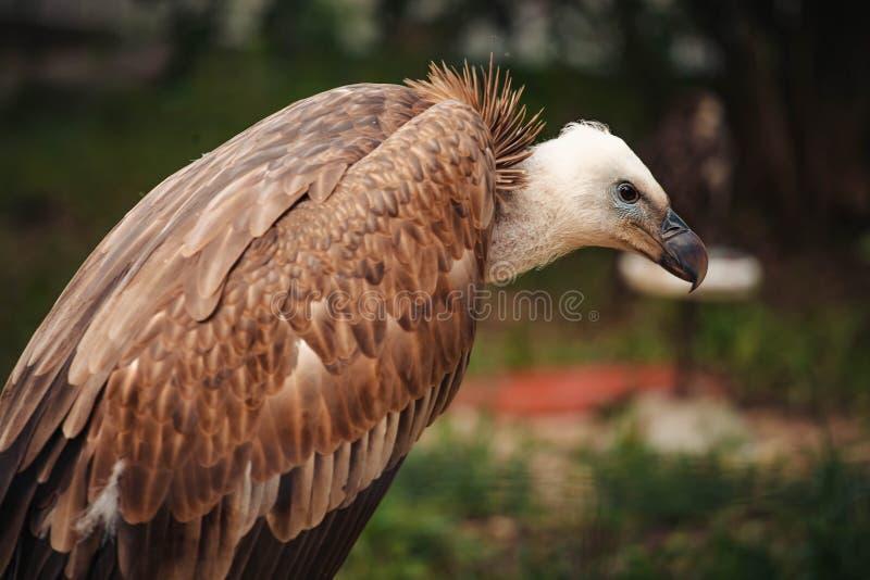 Close-up face looks vulture. Bird of prey scavenger closeup. Animal, wildlife, avian, eurasian, raptor, beak, eye, griffon, predator, nature, accipitridae royalty free stock photo