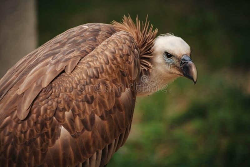 Close-up face looks vulture. Bird of prey scavenger closeup. Animal, wildlife, avian, eurasian, raptor, beak, eye, griffon, predator, nature, accipitridae stock images