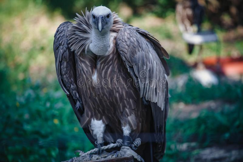 Close-up face looks vulture. Bird of prey scavenger closeup. Animal, wildlife, avian, eurasian, raptor, beak, eye, griffon, predator, nature, accipitridae royalty free stock image