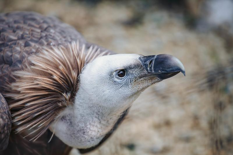 Close-up face looks vulture. Bird of prey scavenger closeup. Animal, wildlife, avian, eurasian, raptor, beak, eye, griffon, predator, nature, accipitridae stock photos