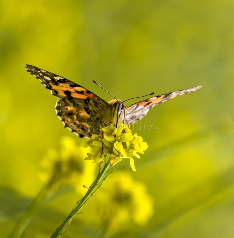 Close up Face Painted Lady Orange Butterfly on Yellow Flower royalty free stock photography