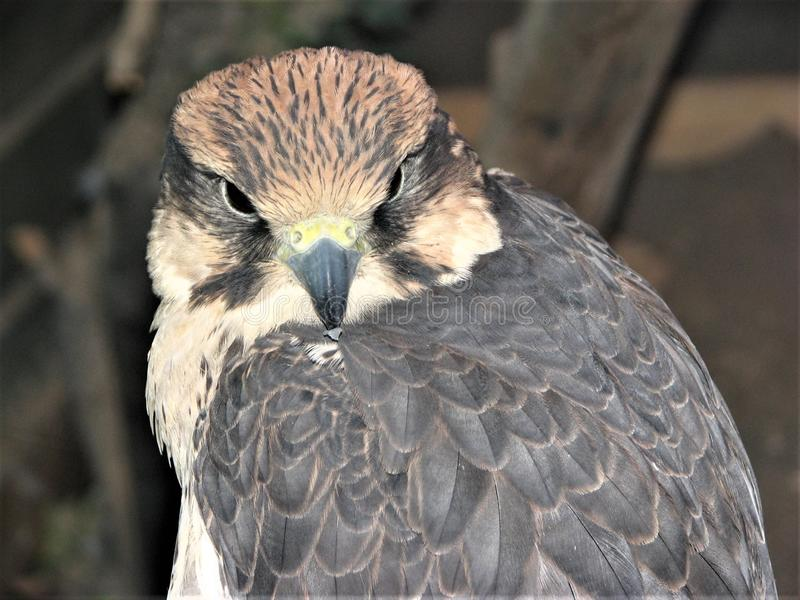 A close up face portrait of a brown falcon stock images