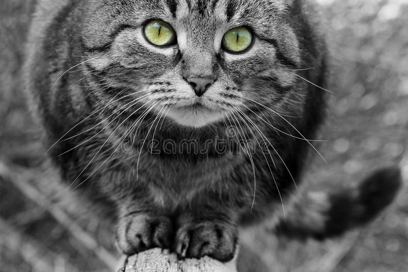Close-up of the face of a pretty cat in black and white with colored eyes stock images