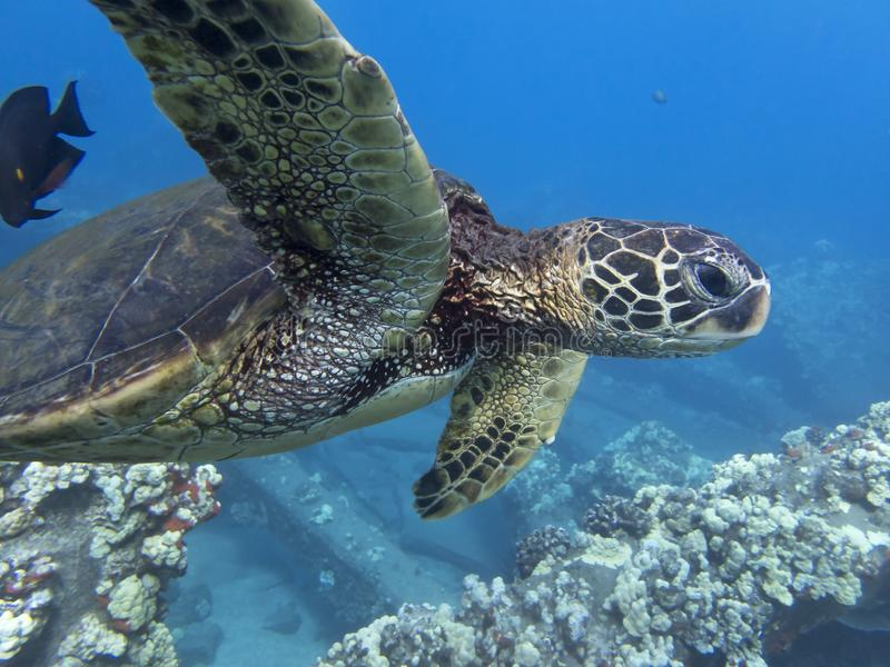 Close Up Face Sea Turtle Profile Under Ocean with Blue Background stock image