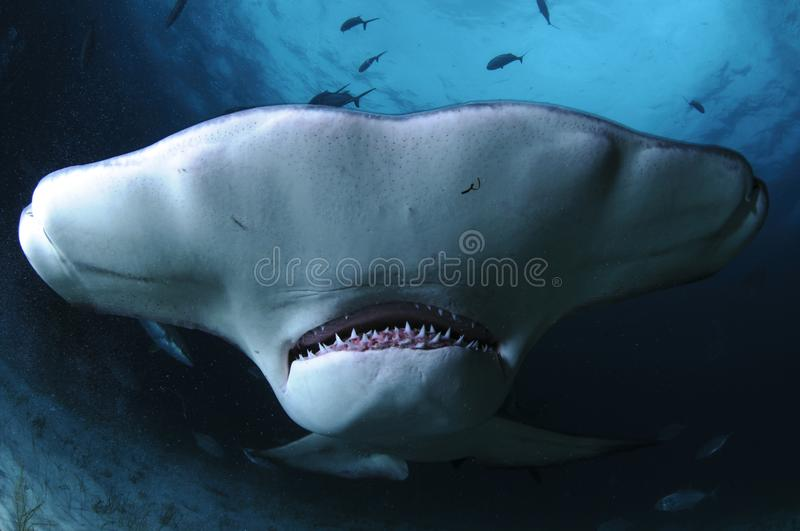 Close up Face Shot of Great Hammerhead Shark Swimming in Clear Waters of Bahamas royalty free stock image