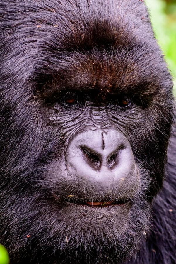 Close up of the face of a silverback mountain gorilla. Intimate details of the face of a silverback mountain gorilla stock photo